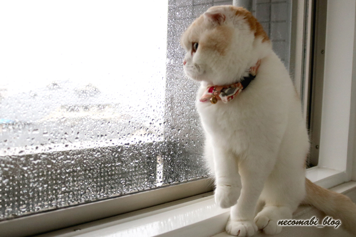 スコティッシュフォールド,猫,まびこ