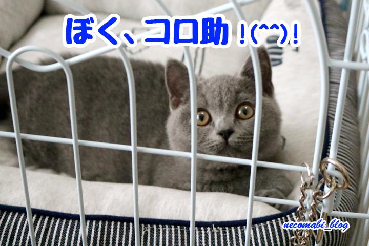 新メンバー!!元気な子猫のコロ助くん♪