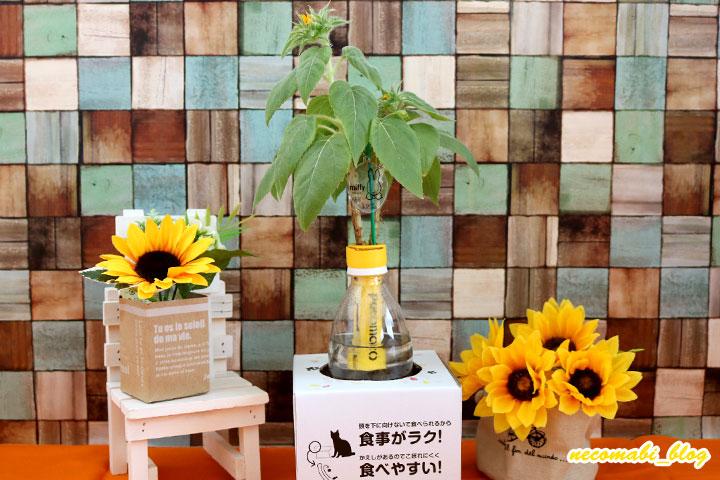 ひまわり報告5~開花coming soon!!~
