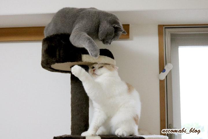 スコティッシュフォールド,猫,まびこ,ブリティッシュショートヘアー,コロ助