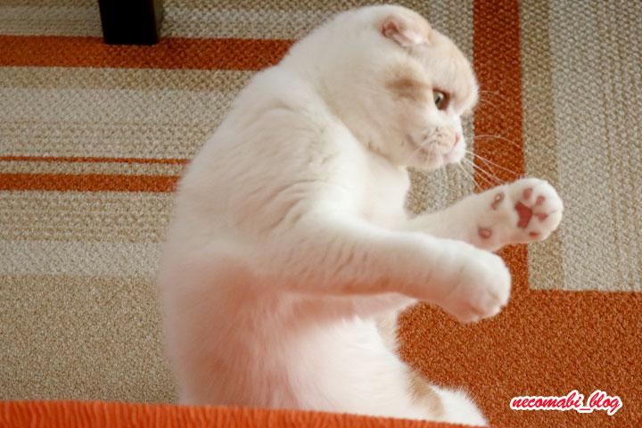 ちゅーぶじゃらしで猫酔拳~まびこ編~