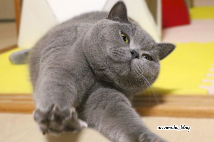 スコティッシュフォールド,猫,まびこ,ブリティッシュショートヘア,コロ助