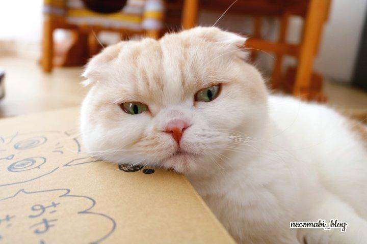 スコティッシュフォールド,猫,まびこ,ブリティッシュショートヘア,コロ助,手作りマスク,販売