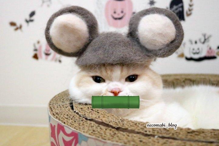 スコティッシュフォールド,猫,まびこ,ブリティッシュショートヘア,コロ助,ブログ